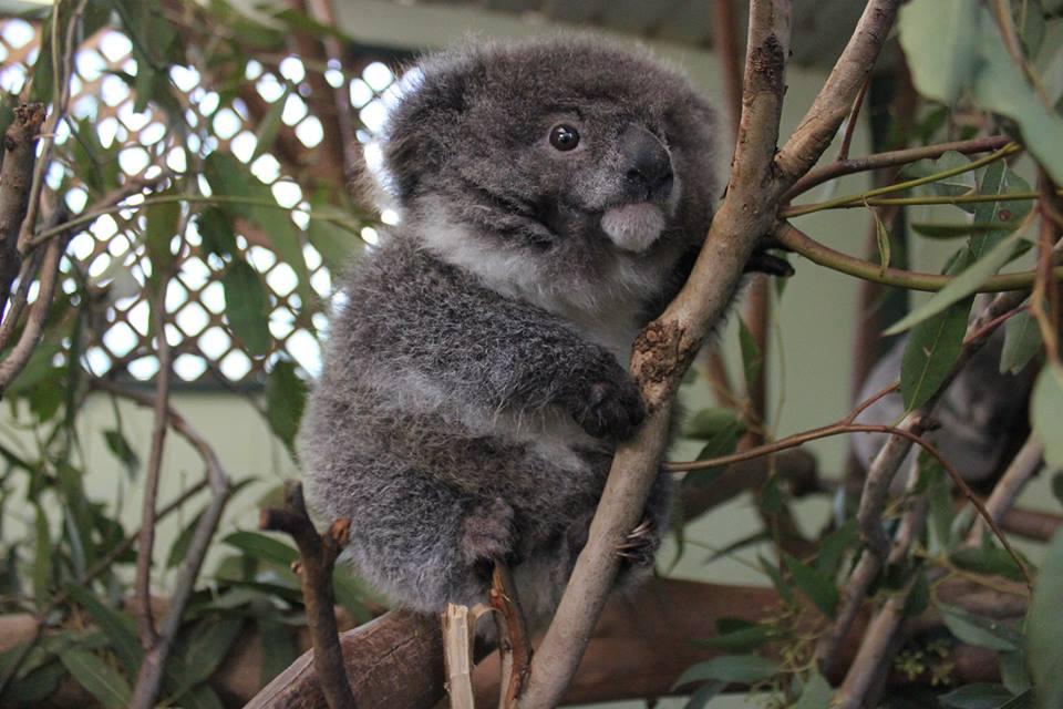 Koala chiquito