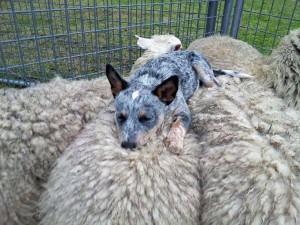 Perro tomando una siesta sobre unas ovejas