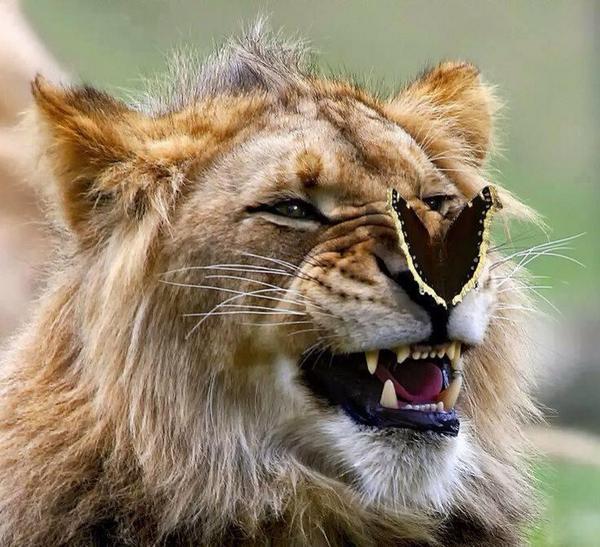 Un leon y una mariposa